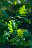 Oak tree leawes with dew Royalty Free Stock Image