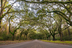 Oak tree lined road Stock Photography