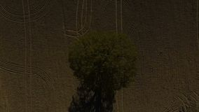 Oak, tree, lonely oak field, single tree, aerial drone footage. Lonely oak in the field, signle tree, aerial drone footage stock video footage