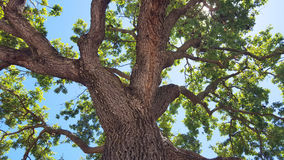 Oak tree. Looking up at large oak tree royalty free stock photo