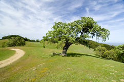Oak tree in meadow Royalty Free Stock Photography