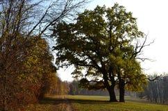 Oak tree in the meadow Stock Photography
