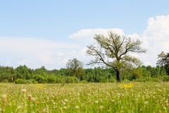Oak tree on a meadow with grass. Ukraine Royalty Free Stock Photography