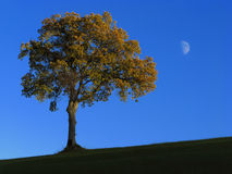 Oak tree and moon Stock Image