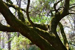 Oak tree with moss Royalty Free Stock Photo