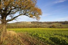 Oak tree and mustard crop Royalty Free Stock Photo