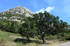 Oak Tree in National Park Pollino in Calabria Italy. In autumn Royalty Free Stock Photography
