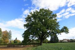 Oak tree near Leman Lake. Oak tree near Leman Lake, french alps Stock Photo