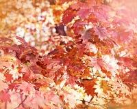 Oak tree - Oak leaves in forest Royalty Free Stock Images