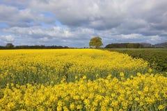 Oak tree and oilseed rape crop. An oak tree just coming into leaf beside a bright yellow flowering oilseed rape crop under a blue cloudy sky Stock Photo