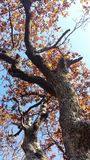 OAK TREE IN AUTUMN royalty free stock photos