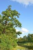 Oak tree over lake Stock Photos
