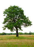 Oak tree over white background Royalty Free Stock Photo