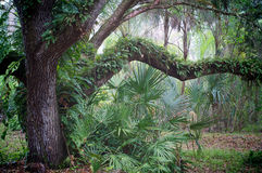 Oak tree and palms in subtropical forest. A large old oak tree is covered with resurrection ferns and surrounded by small palm trees in subtropical florida at Stock Image