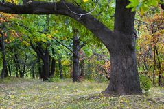 Oak tree at park. Oak tree at the autumn park Royalty Free Stock Photography