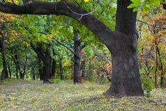 Oak tree at park Royalty Free Stock Photography
