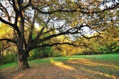 Oak Tree in Park. Big Oak Tree in Early Autumn Park. Stock Photo Royalty Free Stock Photos