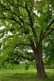 Oak Tree in Park. Big Oak Tree in Park with Early Spring Green Leaves Stock Images