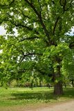 Oak Tree in Park. Big Oak Tree in Park with Early Spring Green Leaves Royalty Free Stock Photography
