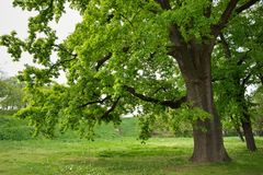 Oak Tree in Park. Big Oak Tree in Park with Early Spring Green Leaves Stock Image