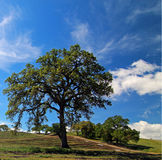 Oak Tree in Paso Robles Wine Country Scenery Royalty Free Stock Photography