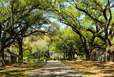 Oak Tree. A path lined with oak trees and tangled branches with spanish moss and tangled branches near a Louisiana plantation stock photography