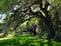 Oak tree at a plantation in Charleston, South Carolina. Oak tree covered in Spanish moss at Magnolia Plantation in Charleston, South Carolina Stock Photography