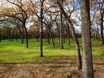 Oak tree plantation Royalty Free Stock Photo