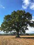Oak tree in a ploughed field royalty free stock photography