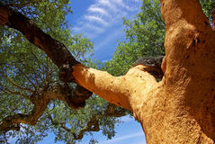 Oak tree at Portugal. Royalty Free Stock Photography