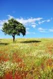 Oak tree  at Portugal. Royalty Free Stock Photo