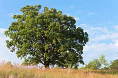 Oak Tree and Prairie Landscape Royalty Free Stock Photo