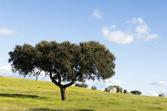 Oak tree - Quercus ilex Stock Photography