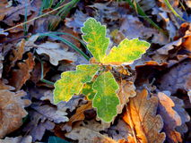 Oak Tree Quercus robur. An oak tree sapling Quercus robur poking through the autumn leaves on a frosty morning royalty free stock photography