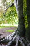 Oak tree after rain Stock Photography