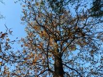 Autumn oak tree and blue sky stock photo
