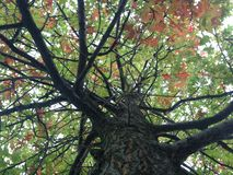 Quercus Tree with Red Leaves. Stock Photos