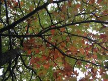 Quercus Tree with Red Leaves. Stock Photography