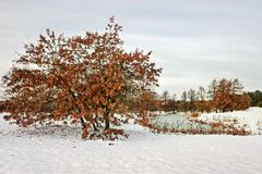 Oak tree with red leaves in winter by the lake with snow on the ground. royalty free stock photography