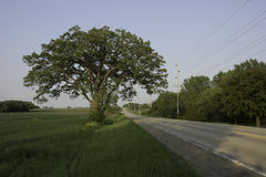 Oak Tree Road. A large, lone Bur Oak tree stand between a wheat field and country road Stock Images