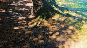 Oak tree roots in the shade. Showing the base of an Oak tree roots under the shade in the summer. The oak is a tree or shrub in the genus Quercus of the beech stock images