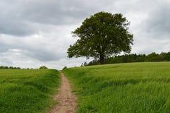 Oak tree in Seer Green Royalty Free Stock Photography