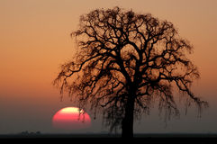 Oak Tree and Setting Sun Royalty Free Stock Photography