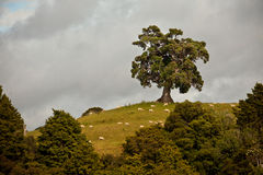 Oak tree and sheep on a hill Royalty Free Stock Image