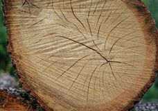 The texture of the cut wood is oak stock image