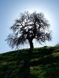 Oak Tree Silhouette. Sturdy oak tree is silhouetted against the winter sun in rural Northern California Stock Image
