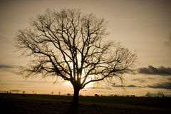 Oak tree silhouette Royalty Free Stock Photo