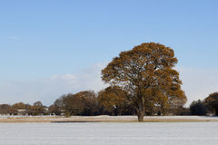 Oak tree in the snow Stock Photo