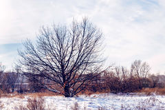 Oak Tree in the Snow. Oak tree without leaves in the snow during winter Royalty Free Stock Photography