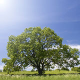 Oak tree, solitary oak. Stock Photo